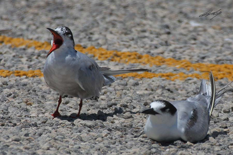 Common Tern, Padre Island National Seashore, Texas.
