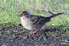 Golden-crowned Sparrow, Fernhill Wetlands, Forest Grove, Oregon.