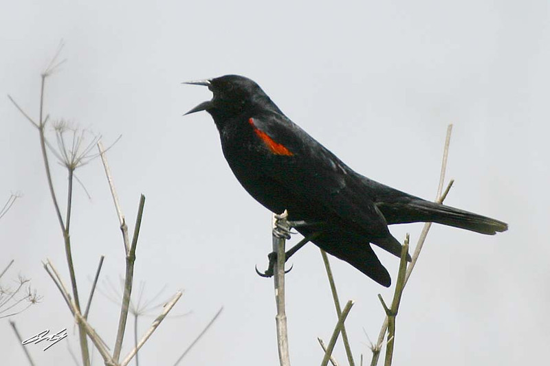 Red-winged Blackbird, bicolored, male, Elkhorn Slough State Preserve, Castroville, California.