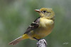 Western Tanager, female, Cabin Lake, Oregon.