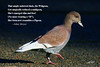 "Pwigeon humor. Photoshopped from female American Wigeon and Rock Pigeon to honor the renaming of ""Widgeon"" to ""Wigeon"" as memorialized in this limerick by Joline Shroyer."