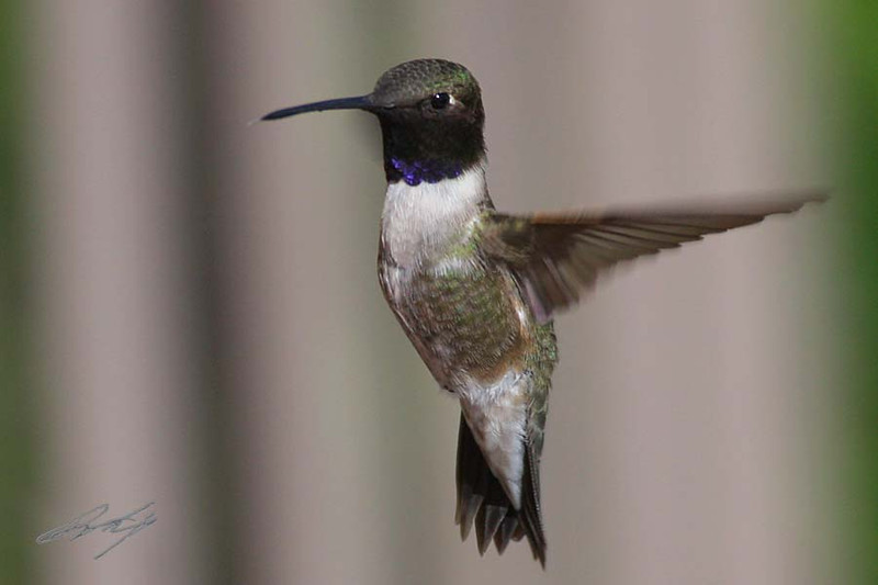 Black-chinned Hummingbird, male, Green River, Utah.