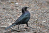 Brewer's Blackbird, male, Nature Center, Sunriver, Oregon.