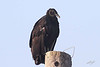 Black Vulture, Lago Vista, Texas