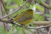 Wilson's Warbler, female, Scrub Oasis, Fields, Oregon.