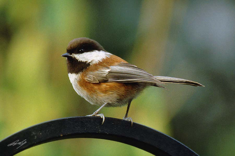 Chestnut-backed Chickadee, Portland, Oregon.