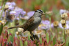 White-crowned Sparrow, Beach Road, Pebble Beach, California.