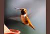 Rufous Hummingbird, male, Beatty's Guest Ranch, Miller Canyon, Hereford, Arizona.