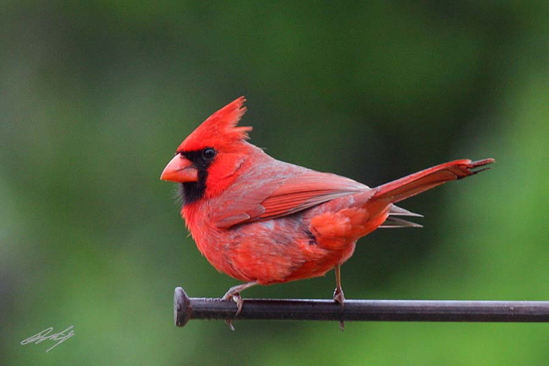 Northern Cardinal, male, Salt Plains NWR, Cherokee, Oklahoma.