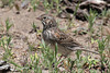 Vesper Sparrow, Cabin Lake, Oregon.
