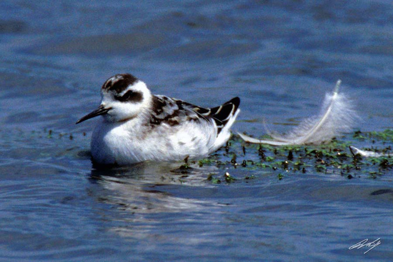 Red-necked Phalarope, Horsefall Beach, North Bend, Oregon.