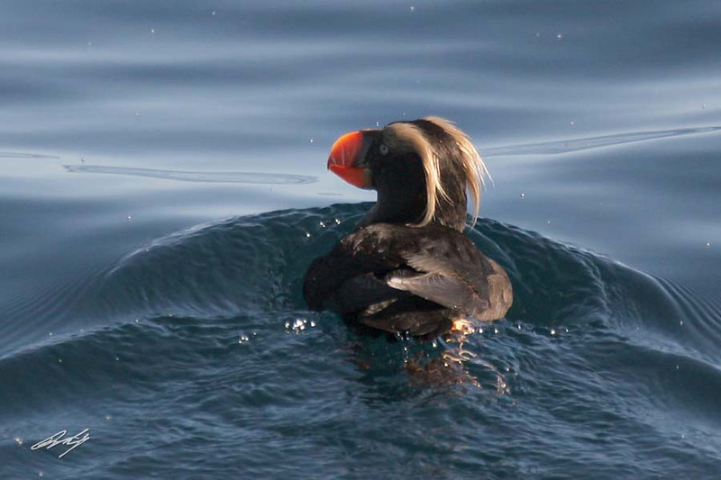 Tufted Puffin, Pacific Ocean SW of Newport, Oregon.