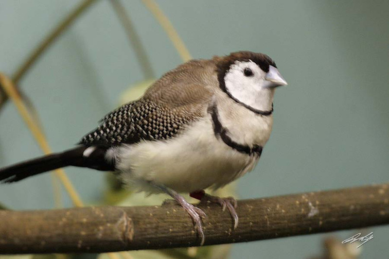 Double-barred Finch, Potter Park Zoo, Lansing, Michigan.