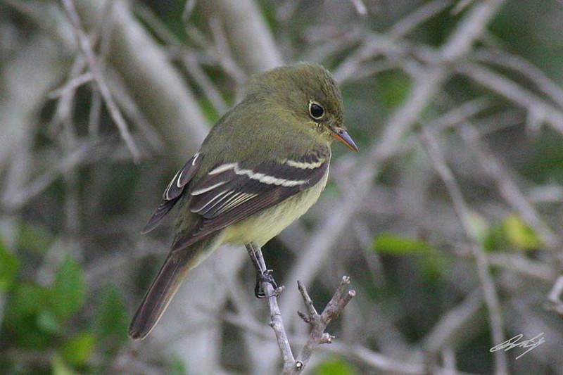 Yellow-bellied Flycatcher, Matagorda Island NWR, Matagorda Island, Texas.