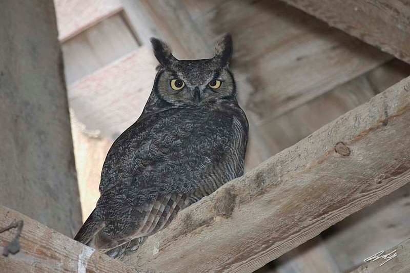 Great Horned Owl, Summer Lake Wildlife Area, Summer Lake, Oregon.