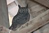 Great Horned Owl, Summer Lake Wildlife Area, Summer Lake, Oregon.