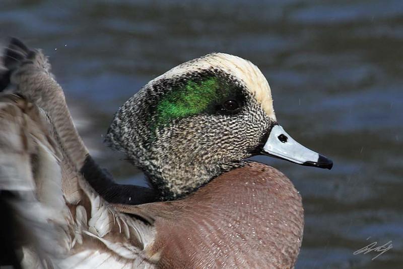 American Wigeon, male, Westmoreland Park, Portland, Oregon.