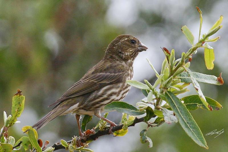 Purple Finch, female, Andrew Molera State Park, Big Sur, California.