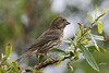 Purple Finch, female, Andrew Molera State Park, Big Sur, California.