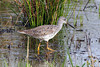 Greater Yellowlegs, Ridgefield NWR, Washington.