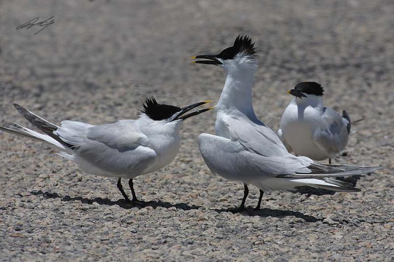 Sandwich Tern, Padre Island National Seashore, Texas.