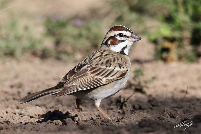 Lark Sparrow, Martin Refuge, Edinburg, Texas.