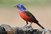 Painted Bunting, male, Weaver Cattle Company, Raymondville, Texas.