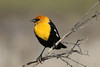 Yellow-headed Blackbird, Wakefield-Cameron Lake Road, Washington.