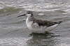 Wilson's Phalarope, non-breeding, Long Lake NWR, Sterling, North Dakota.