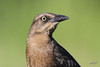 Great-tailed Grackle, female, Weaver Cattle Company, Raymondville, Texas.