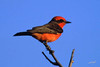 Vermillion Flycatcher, Arivaca Creek, Buenos Aires NWR, Arizona.