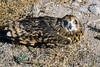 Northern Short-eared Owl, Raptor Rehabilitation, Kuna, Idaho.