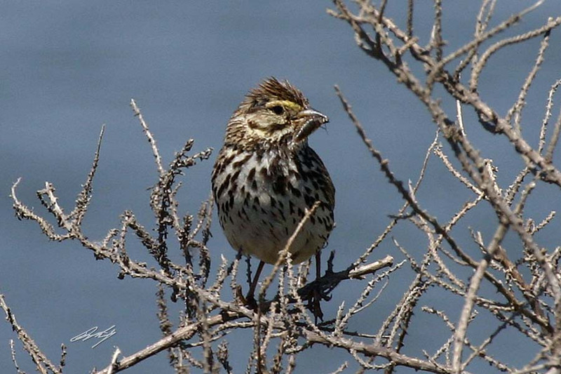 Savannah Sparrow, Belding's sub-sp, Sweetwater Marsh, Imperial Beach, California.