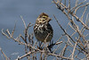 Savannah Sparrow, Belding's sub-sp, Sweetwater Marsh, Imperial Beach, California.