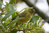 Orange-crowned Warbler, Andrew Molera State Park, Big Sur, California.
