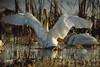 Tundra Swan, Ridgefield NWR, Ridgefield, Washington.