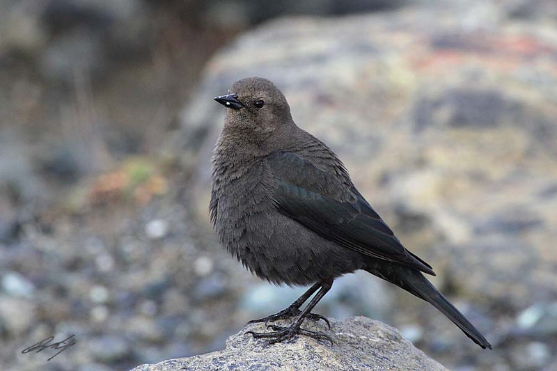 Brewer's Blackbird, female, South Jetty, Bandon, Oregon.