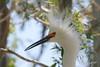 Snowy Egret, Airport, Dos Palos, California.