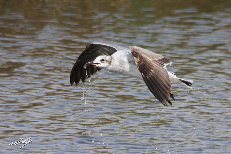Laughing Gull gets a drink, South Padre Island Birding and Nature Center, Texas
