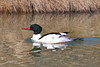 Common Merganser, male, Summer Lake Wildlife Area, Summer Lake, Oregon.