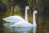 Trumpeter Swan, Nature Park, Bend, Oregon.