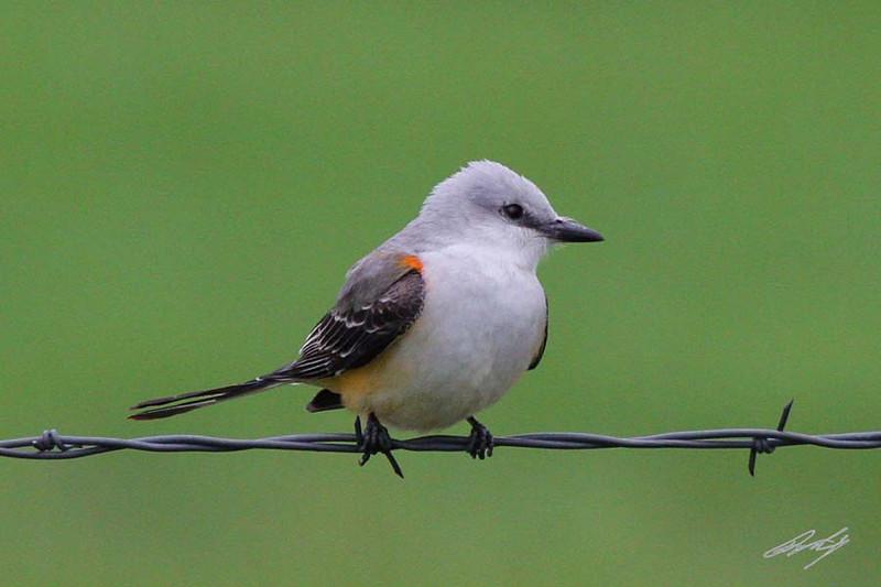 Scissor-tailed Flycatcher, Highway OK-38, Cherokee, Oklahoma.