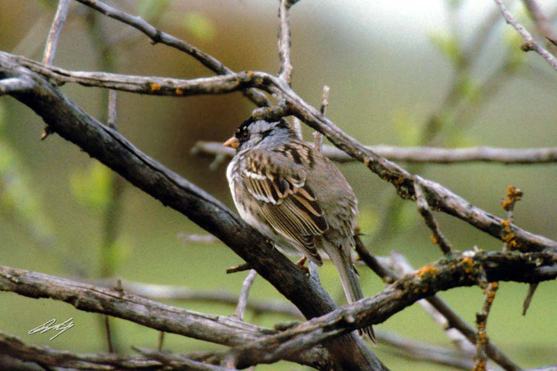 Harris's Sparrow, Flint Hills NWR, Hartford, Kansas.