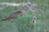 Long-billed Curlew chick with mama, Shady Slope Lane, Baker City, Oregon.