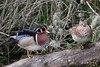 Wood Duck, Ridgefield NWR, Ridgefield, Washington.
