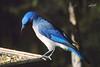 Mexican Jay, Buenos Aires NWR, Sasabe, Arizona.