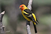 Western Tanager, male, Cabin Lake, Oregon.