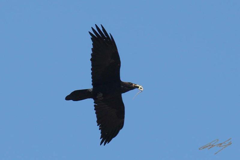 Chihuahuan Raven, Black Mesa State Park, Oklahoma.