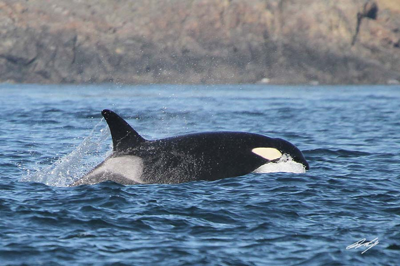 Orca, Shachi J-19, San Juan Islands, Washington.<br /> Sometimes, something other than a bird gets in the way of our cameras. Not our fault if the shutter clicks!