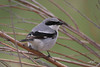 Loggerhead Shrike, Central Patrol Road, Malheur NWR, Oregon.